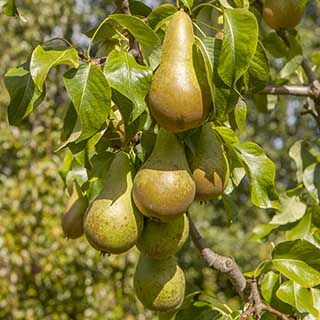 Pear 'Conference' 5L