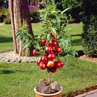 Nectarine Dwarf Patio Perfect tree