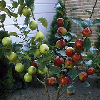 Duo Fruit Tree - Apple Bramley & Braeburn