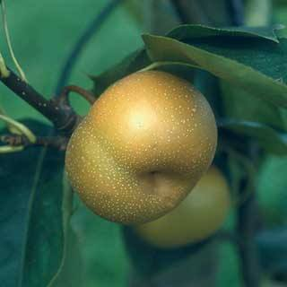 Asian Nashi Pear 'Kumoi'