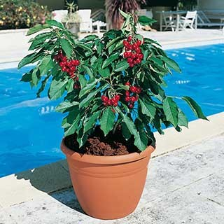 Patio Cherry 'Garden Bing' tree