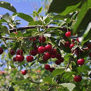 Sour Cherry 'Morello' tree 5L pot