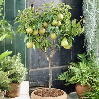 'Garden Pearl' Pear Patio Fruit Tree in a 7.5L Pot