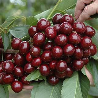 Cherry Bush 'Athos'