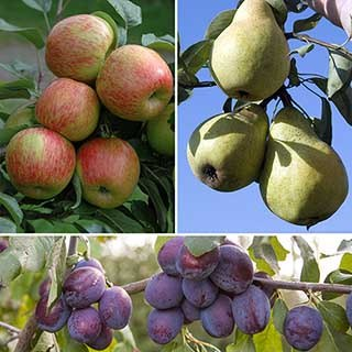 Classic Orchard Fruit Tree Collection