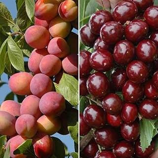 Patio Fruit Trees Cherry 'Athos' and Plum 'Little Vic'