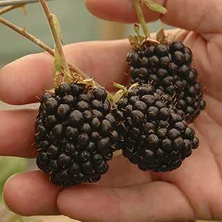 Giant Blackberry 'Reuben'