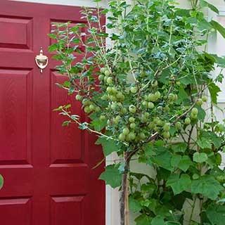 Standard Gooseberry 'Invicta' bare root