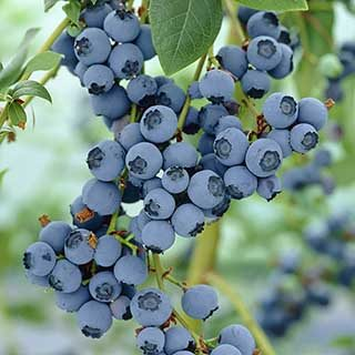 Blueberry 'Bluegold'