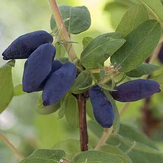 Honeyberry 'Morena'