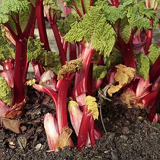 Rhubarb 'Timperley Early' crown