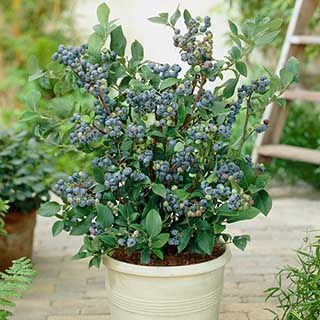 Blueberry Collection with DecorativePots