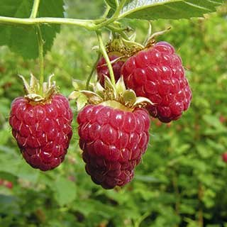 Premium Primocane Raspberry 'Autumn Bliss'