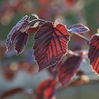 Corylus maxima Purpurea - Purple Hazelnut