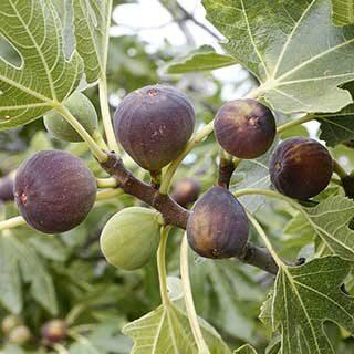 Fig 'Rouge de Bordeaux'