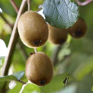 Self-fertile Kiwi 'Solissimo'