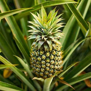 Edible Indoor Pineapple Plant - Ananas comosus.