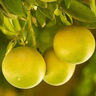 Grapefruit Citrus Tree 6L