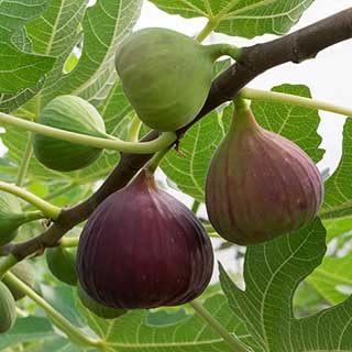 Fig 'Brown Turkey' standard