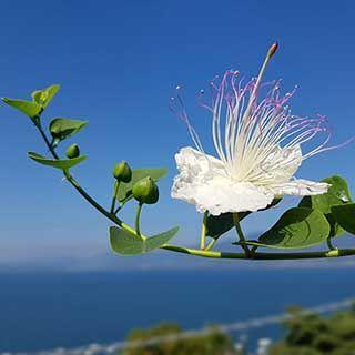 Capparis spinosa Caper Plant
