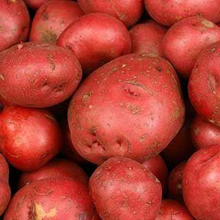 Premium Seed Potato ''Albert Bartlett Rooster' - maincrop