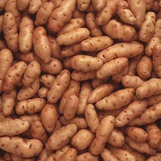 Premium Seed Potato 'Albert Bartlett Anya' - salad