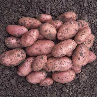Seed Potato 'Desiree' - maincrop