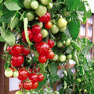 Hanging Basket Tomato Kit