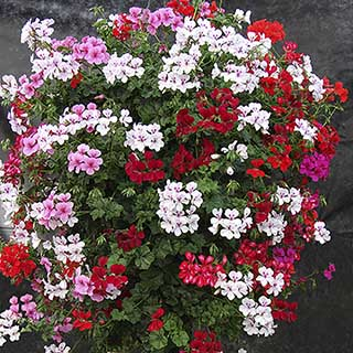 Gerainbow Trailing Geranium Collection