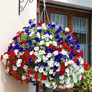 Petunia 'Surfinia' Patriotic Collection