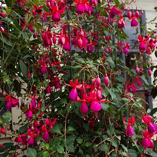 Hardy Climbing Fuchsia Collection