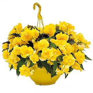 Begonia 'Non-Stop Joy Yellow' Kit