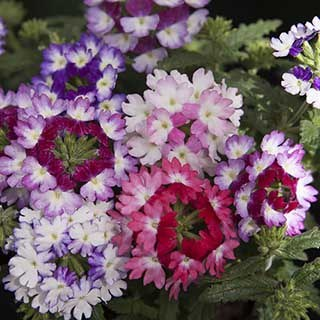Verbena 'Wicked' Mix