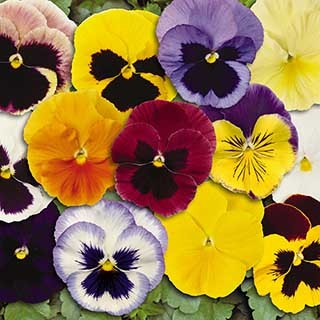 Pansy 'Matrix' Mix