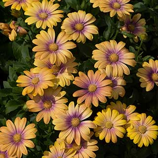 Osteospermum 'Blushing Beauty'