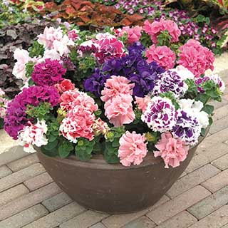 Petunia Duo Mixed 20 pack