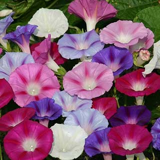 Ipomoea 'Electric Shock' plug plants