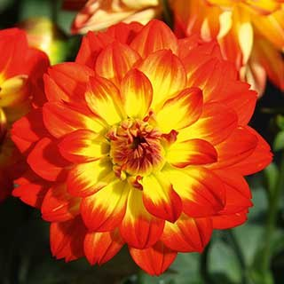 Dahlia 'Lubega Power Flame'