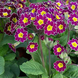 Primula 'Lilac Lace'