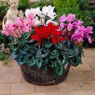 Cyclamen Metis persica mix, 20 Garden Ready Plants