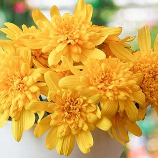 Euryops 'Sunshine Silver Double Yellow'