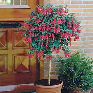 Flowering Standard Fuchsia Column