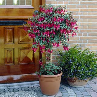 Pair of Flowering Fuchsia Columns