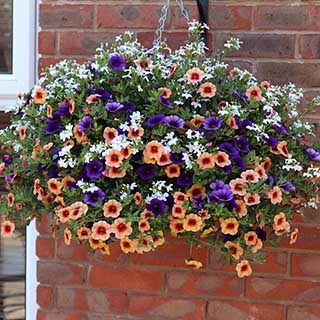 Pair of 'Ayer's Rock Mix' Pre-Planted Baskets