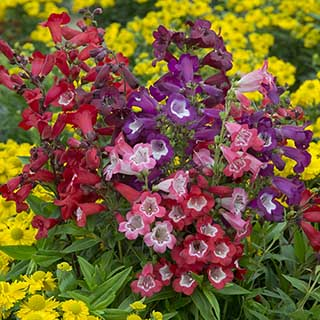 Hardy Penstemon Collection