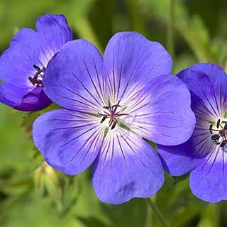 Hardy Geranium 'Rozanne' - RHS Plant of the Centenary