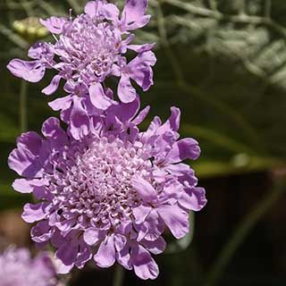 Scabiosa incisa Kudo 9cm potted