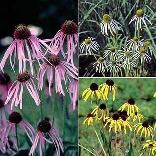 Echinacea 'Quill Petals'