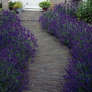 Lavender 'Hidcote' Plug Plants x 12