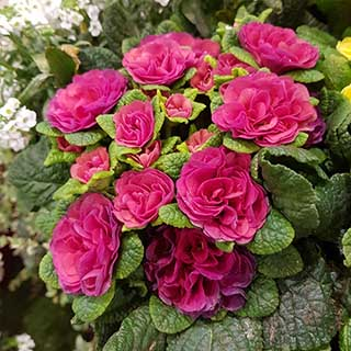 Scented Hardy Primula Belarina (R) 'Carmen' 3 Jumbo Plug Plants